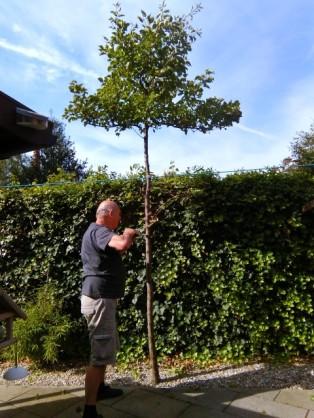 Perenbomen rooien 16-08-2016 (1) (Small)