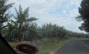 Bananenplantage