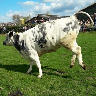Dansende koe